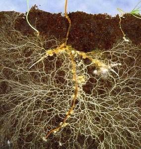 Bodenprofil-Wurzeln-Mykorrhiza